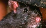 Vignette du livre Les Rats