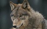 Vignette du livre Vivre avec le loup